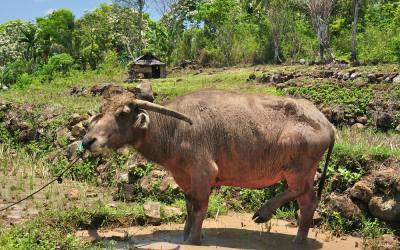 Waterbuffel tussen Cancur en Dintor, Flores, Indonesië, 2012
