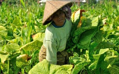 Tabaksvelden in de buurt van Tetebatu, Lombok, Indonesië, 2012