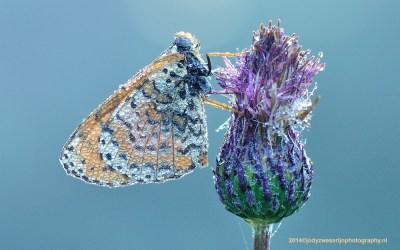 Tweekleurige Parelmoervlinder met dauw, Slovenië, 6-7-2014
