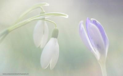 Sneeuwklokjes, Amelisweerd, Bunnik, Nederland, 24-2-2107