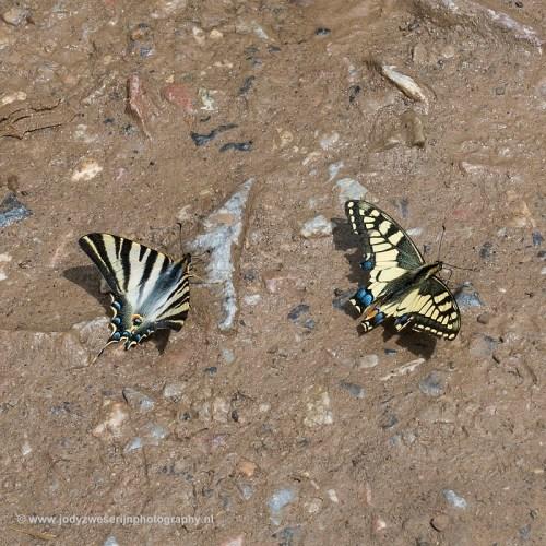 Werkelijk waar: een koningspage (links) en koninginnenpage fladderden zo voor onze voeten langs, Picos de Europa, Spanje, 21-5-2018