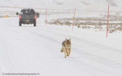 Coyote, Yellowstone, januari 2019