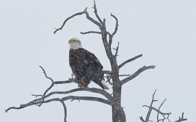 Bald eagle, Yellowstone, januari 2019