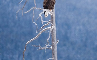 Bald eagle, Yellowstone, januari 2019