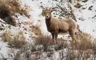 Bighorn sheep, Yellowstone, januari 2019
