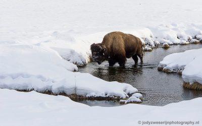 Bizon, Yellowstone, januari 2019