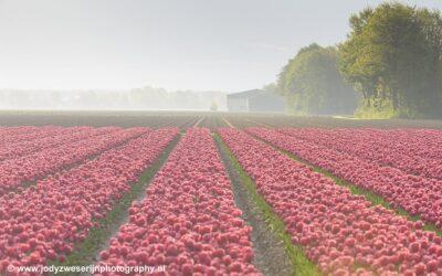 Tulpenvelden, Noordoostpolder, 2018