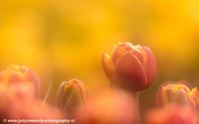 Tulpenvelden, Noordoostpolder, 2020