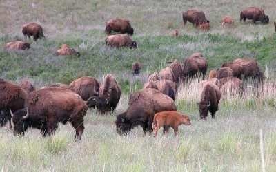 Bizons van Yellowstone, 2005