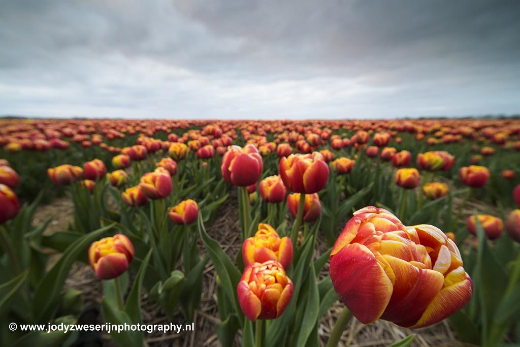 Tulpenveld Noordoostpolder, april 2020