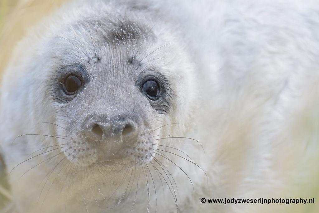 Zeehondenpup op Helgoland, januari 2020