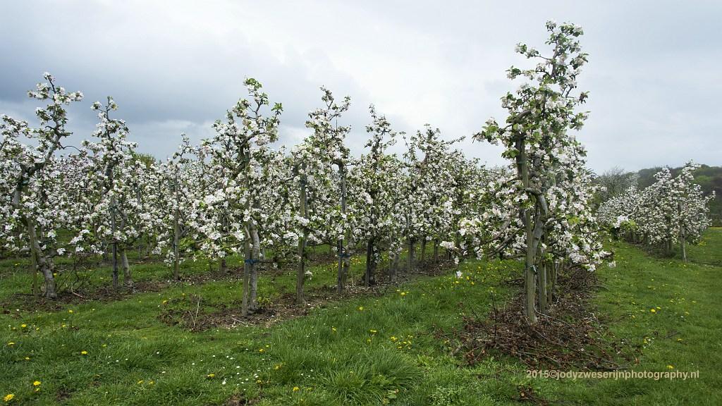 Fruitbomen, Limburg, 26-4-2015