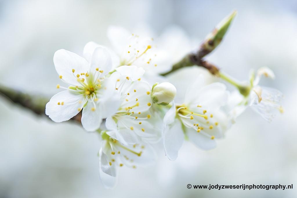 Pruimenbloesem, eigen tuin, 1-4-2020