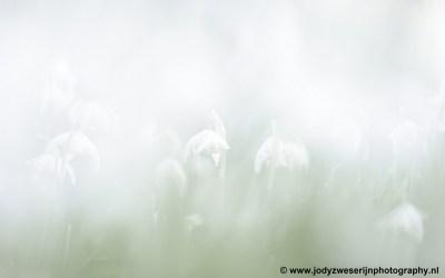 Sneeuwklokjes, Amelisweerd, 2021