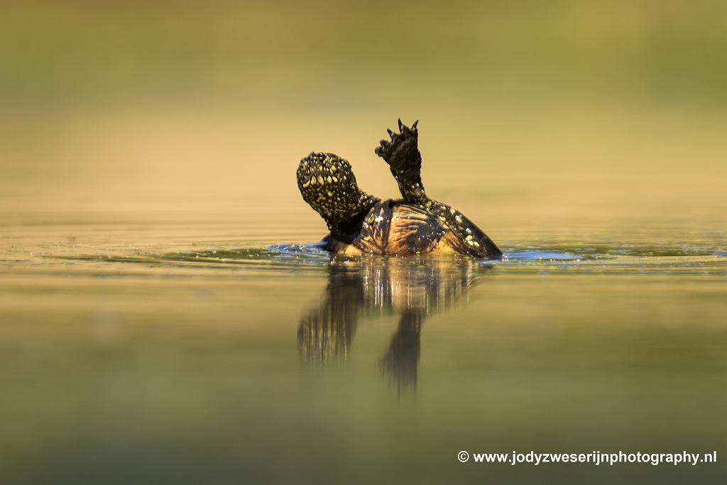 Moerasschildpad, Bence Mate hides Hongarije, 15-6-2021