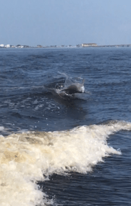 A dolphin surfs in the wake of the boat.