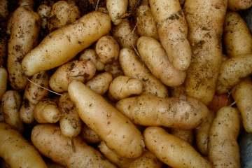 Potatoes (cc) net_efekt http://www.flickr.com/photos/wheatfields/3736536244/sizes/o/