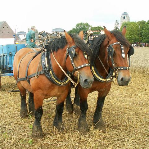Belgian-draft-horse