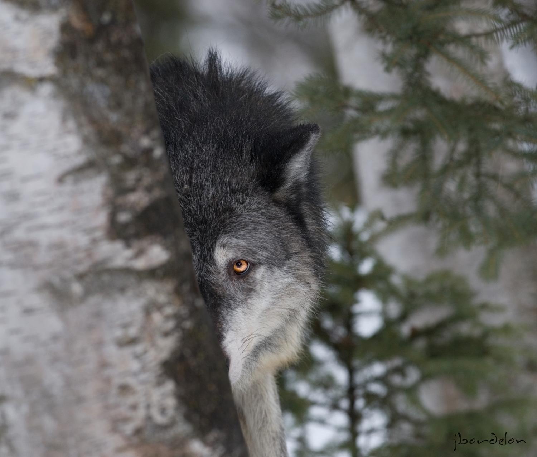 Wolf in the Wild Portrait