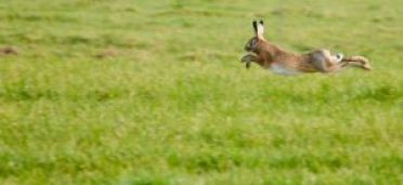 hare jumping snipped