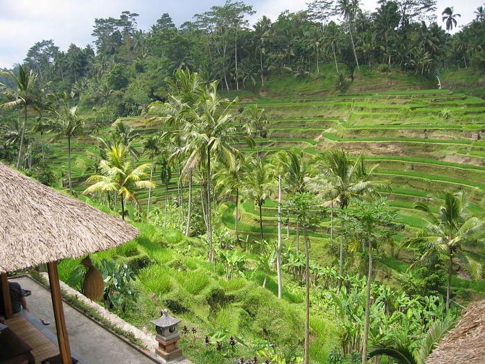 Les rizières en terrasse