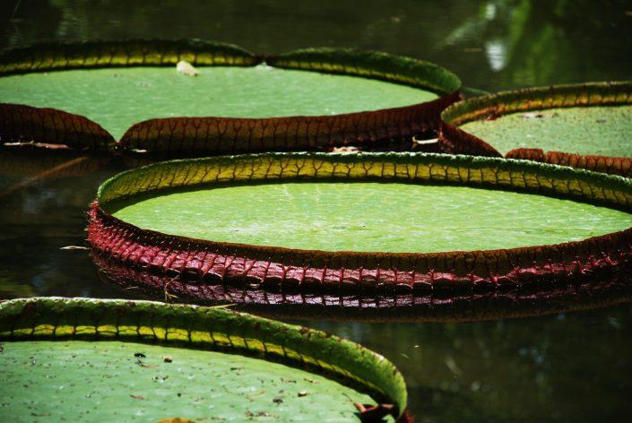 Victoria Amazonica Brasilien