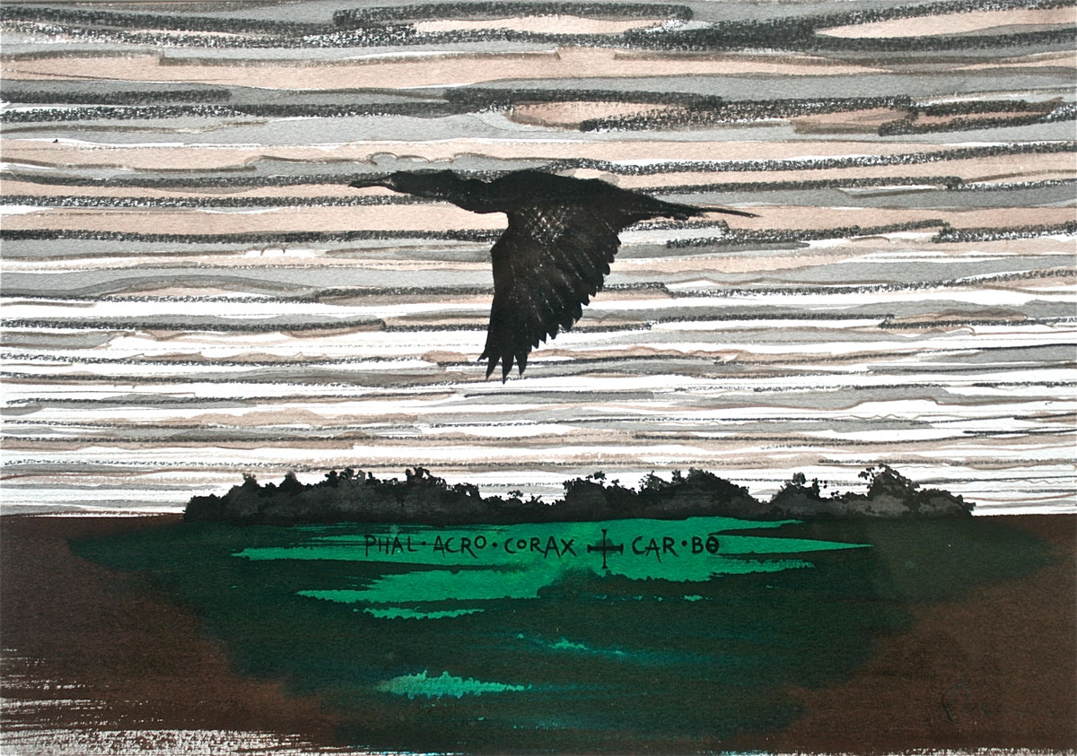 Painting and drawing of a Cormorant in flight, Phalacrocorax-carborundum