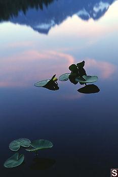 Yellow Pond-Lily - Nuphar polysepalum - On Lake