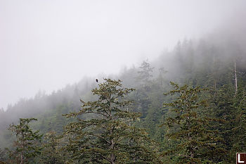 Eagle In Foggy Trees