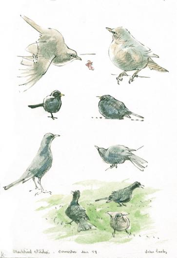 Blackbird Shapes. Illustration by John Busby