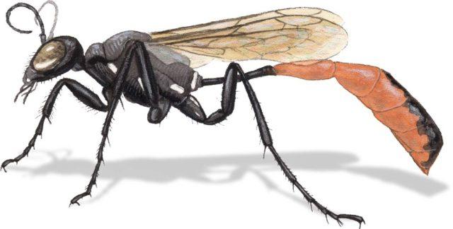 H Ammophila macra or azteca