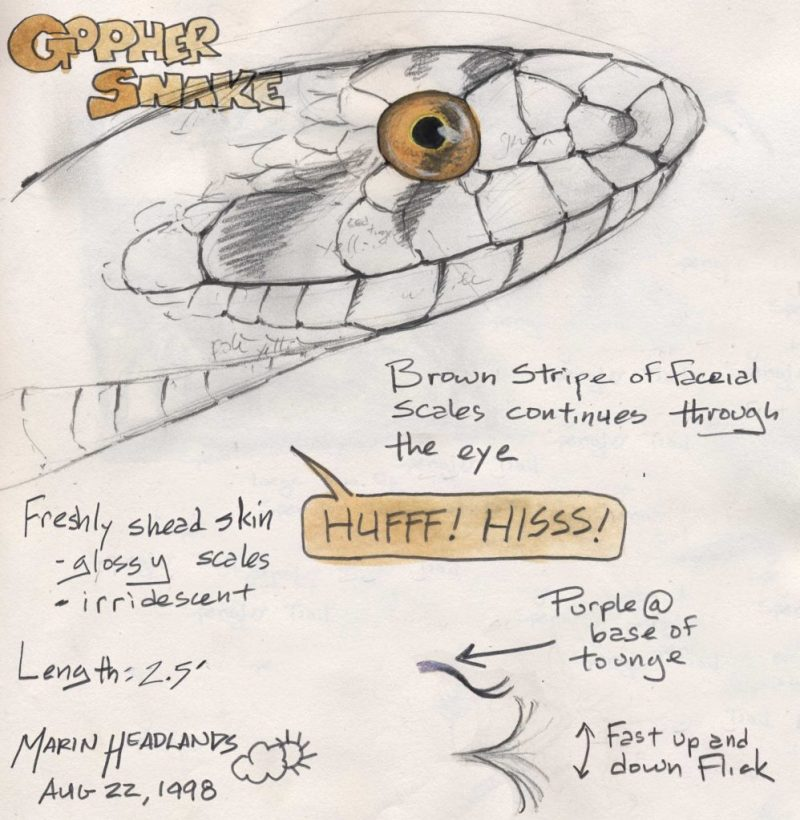 Gopher Snake sketch