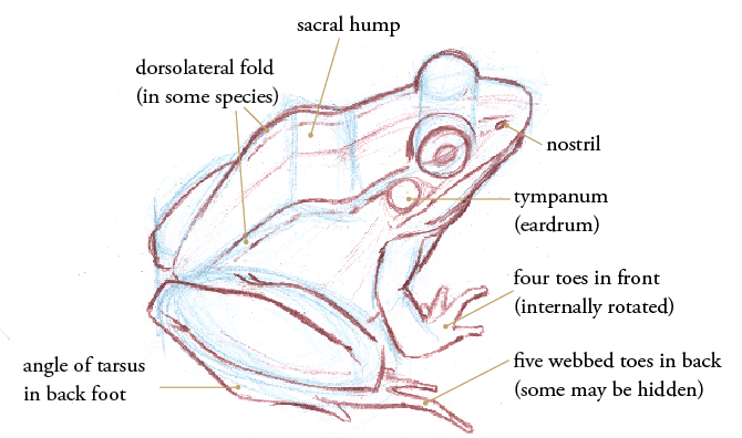 frogs that are adapted for jumping will have a prominent sacral hump on  their backs