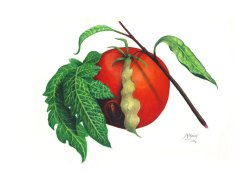 Original artwork. A tomato with the scar of a fungal blight and a peach leaf curled from a fungal infection, Yet they still have a wonder if not a beauty of their own. A3 Atelier Interactive Acrylic painted on 300gsm acid-free paper. Unframed. Shipped in a cardboard tube. $280
