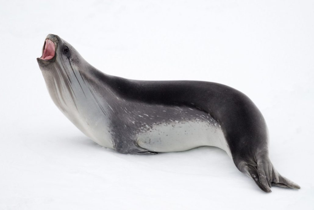 A Ross seal in the Ross Sea (Credit: Rolf Stange and Oceanwide Expeditions)