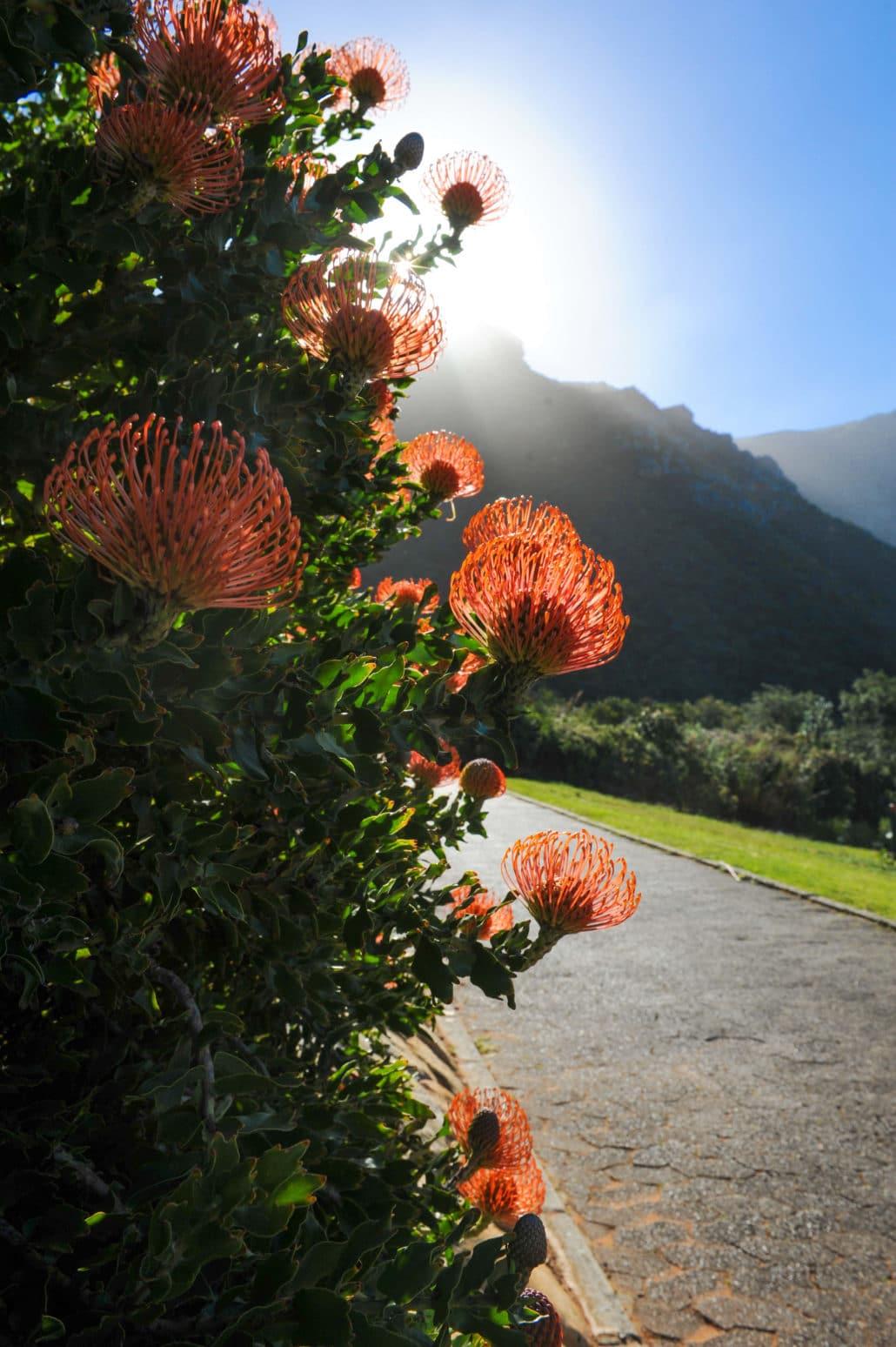A Protea bush (the national flower) at Kirstenbosch National Botanical Garden