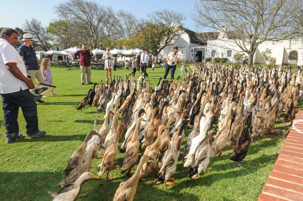 Twice-a-day parade of the well-known runner ducks at Vergenoegd Winery