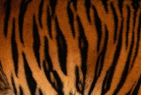 tiger-stripes