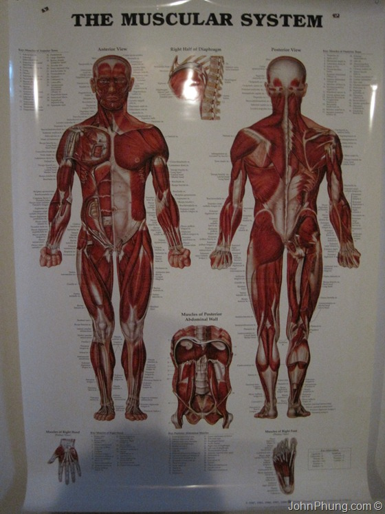 muscular-system-poster