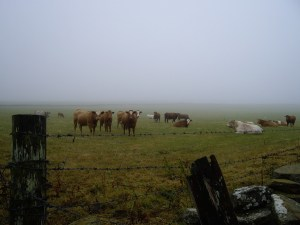 Cows in mist