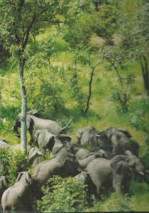 Elephants in Central Africa