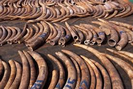 elephant tusks in Bangui planeterra.j.i.c.com