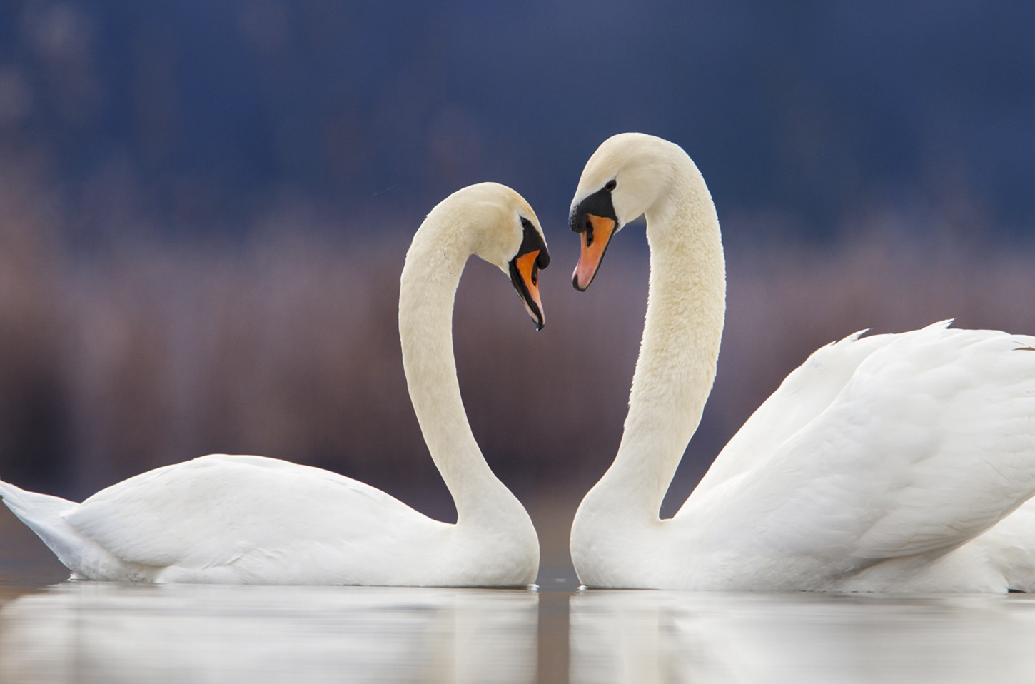 Enchanting the Swan