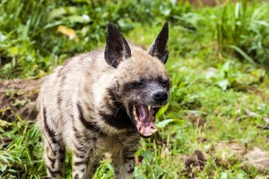 yawning Striped hyaena