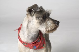 Portrait Of Dog With Neckerchief