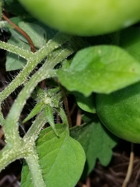 Two Baby Cherry Tomatoes with Green Cherry Tomatoes Kiplyn Primus