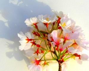 Russell Struer Cherry Blossom Season 2021