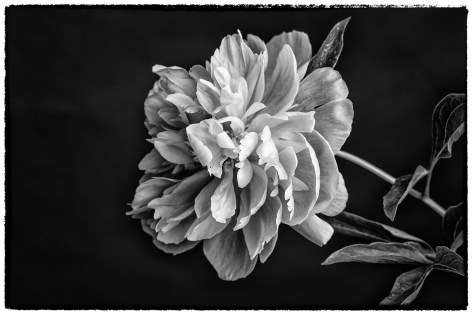 Catherine J Alston Arching Peony 2nd Place- Photography