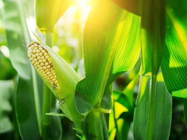 Syngenta Corn Lawsuit