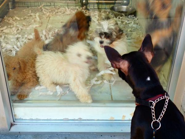 Pet store puppy Campylobacter lawsuit lawyer